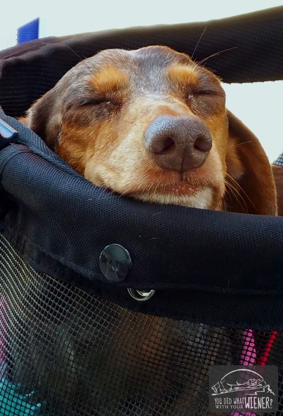 Dachshund sleeping in a stroller