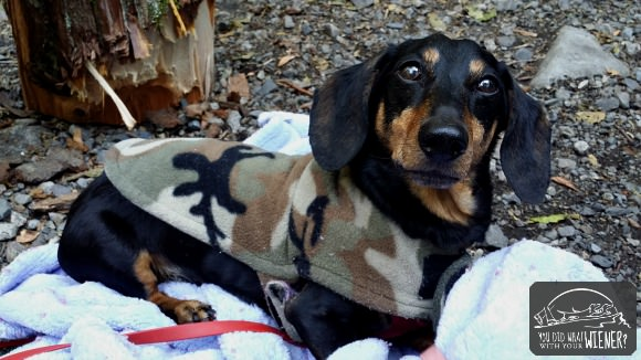 Dachshund in his Cozy Hound Jacket