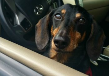 Dog Friendly Road Trip: Is Your Dog Safe Riding in the Car?