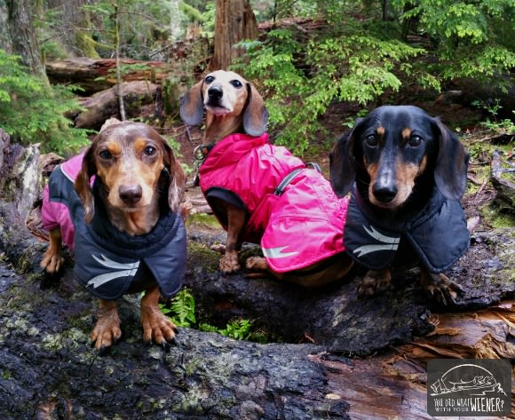 The middle Dachshund is our friend Laalaa wearing the Summit Parka. Chester and Gretel are in the Ultimate Warmer, also by Hurtta.