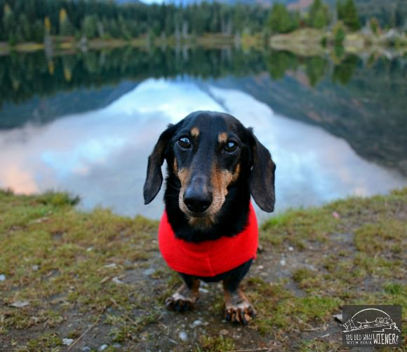 Dachshund Chester at Gold Creek Pond