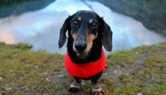 Teckelklub Fleece Jackets Are Perfect for Dachshunds