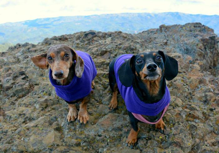 Gretel and Moo the Dachshunds on a hike
