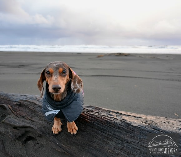 Dachshund at the Beach in jacket