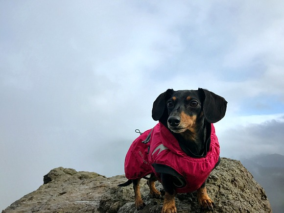 Moo the Dachshund in her Hurtta Summit Parka