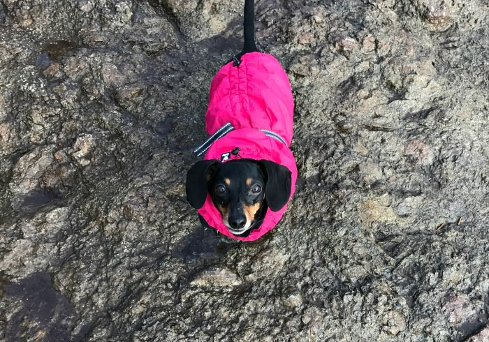 Moo the Dachshund out for a hike