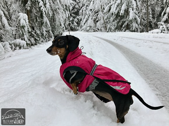 Dachshund hiking in the snow