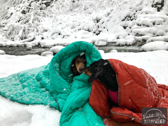 Dachshunds snuggling in a blizzard