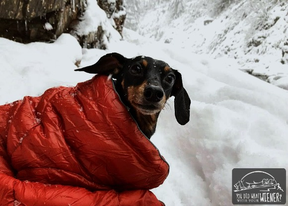 Dachshund snuggled in a blanket