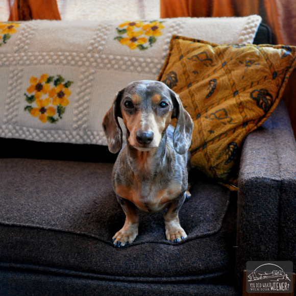 Dachshund hanging out on the Couch at the SouWester