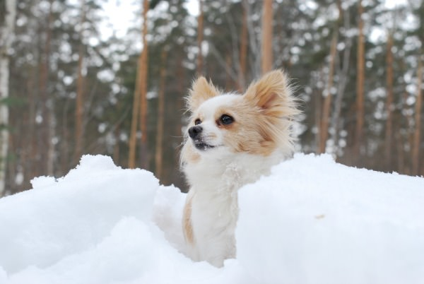 Little Dog Hiking in the Snow