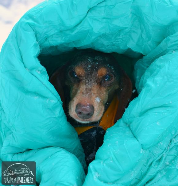 Dachshund hiking in blankets from the cold