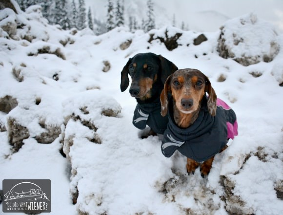 Dachshunds in the Snow wearing Hurtta Jackets