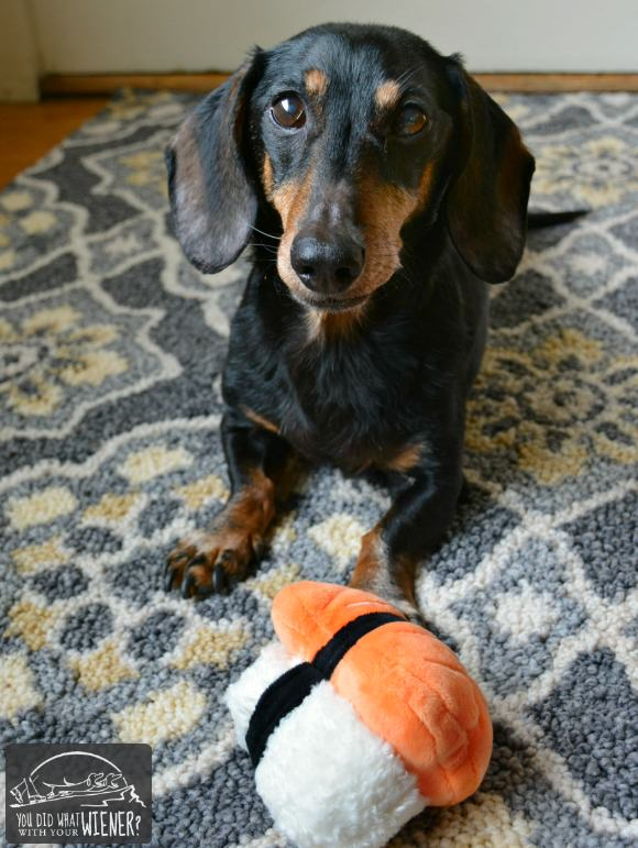 Dachshund With His Sushi Toy From BarkBox
