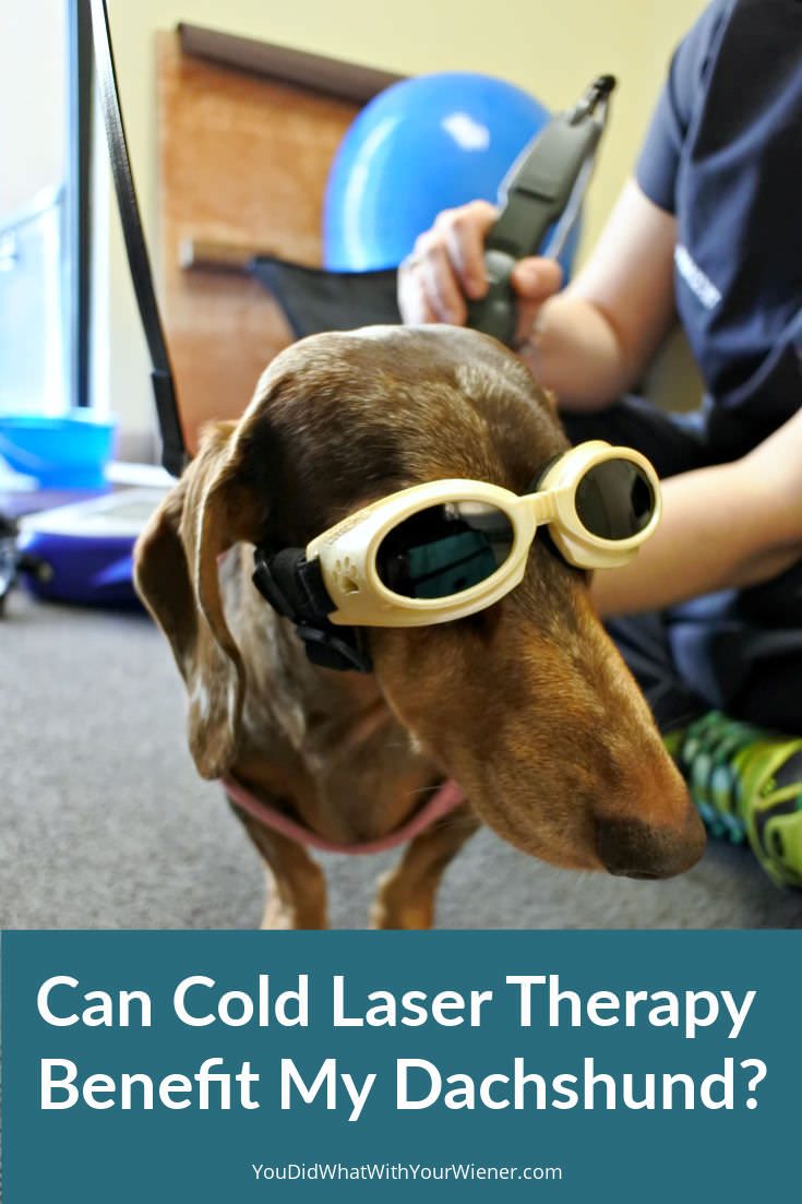 Did you know many Dachshunds receive cold laser treatments to help their back heal?