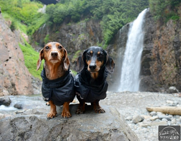 Two Hiking Dachshunds at Franklin Falls