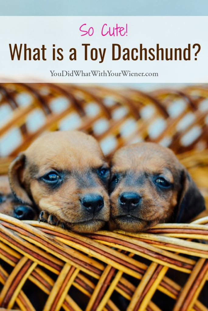 Are toy Dachshunds real?