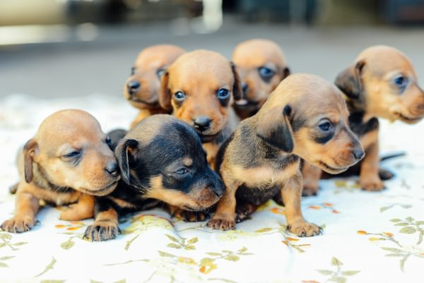 Can I Get a Toy Dachshund Puppy?
