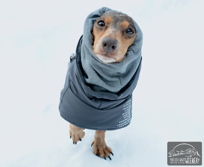 Dacshund wearing a Hurtta winter jacket with snood