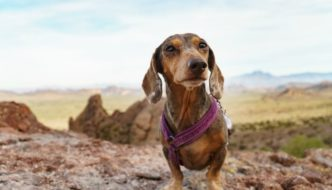 Hurtta Padded Y Harness on a Dachshund