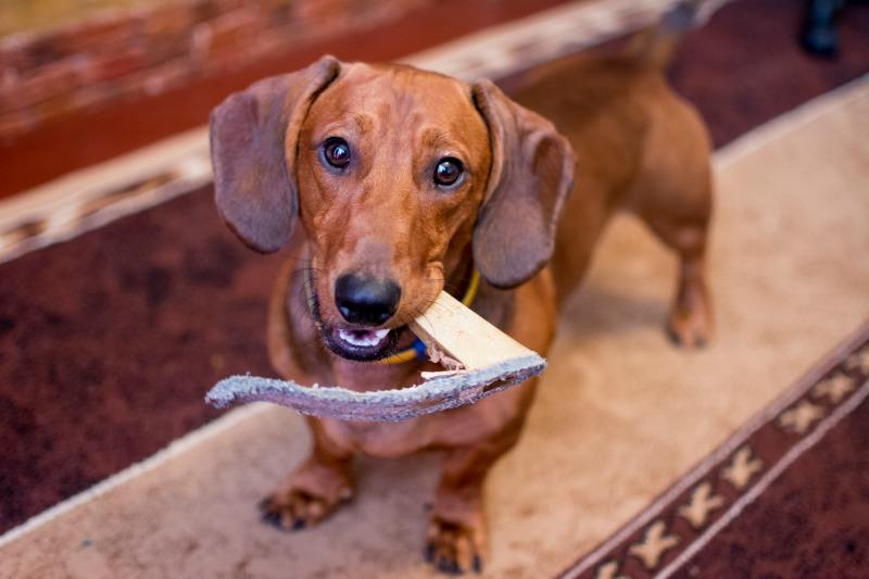 A dog with separation anxiety may chew stuff when you are gone