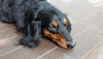 IMPORTANT things to do if your Dachshund suddenly can't walk