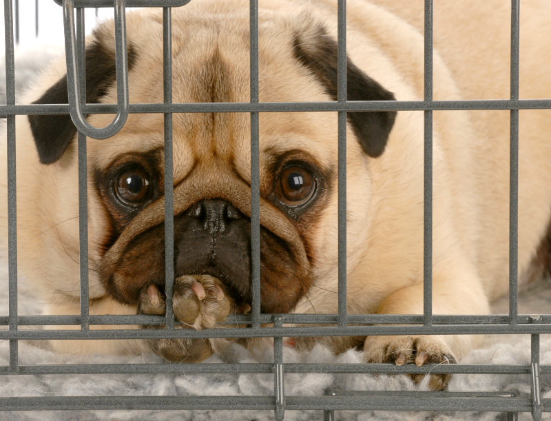 If your dog hurts it back, it will be put on strict crate rest