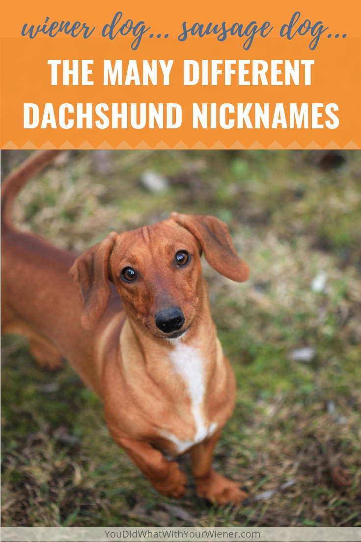 How many different nicknames do you think the Dachshund breed has?