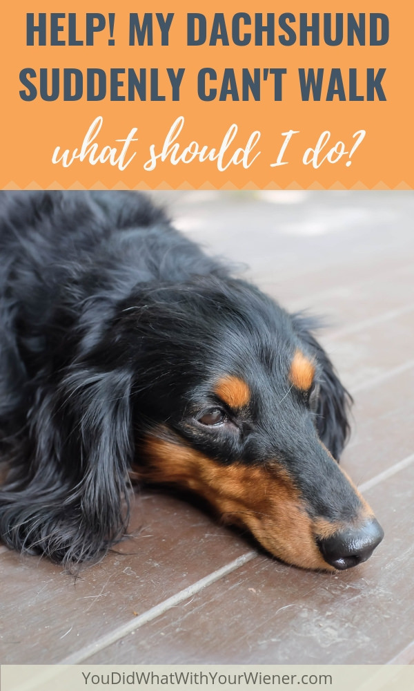 If your Dachshund is suddenly paralyzed and can't walk, you MUST do these things right away.