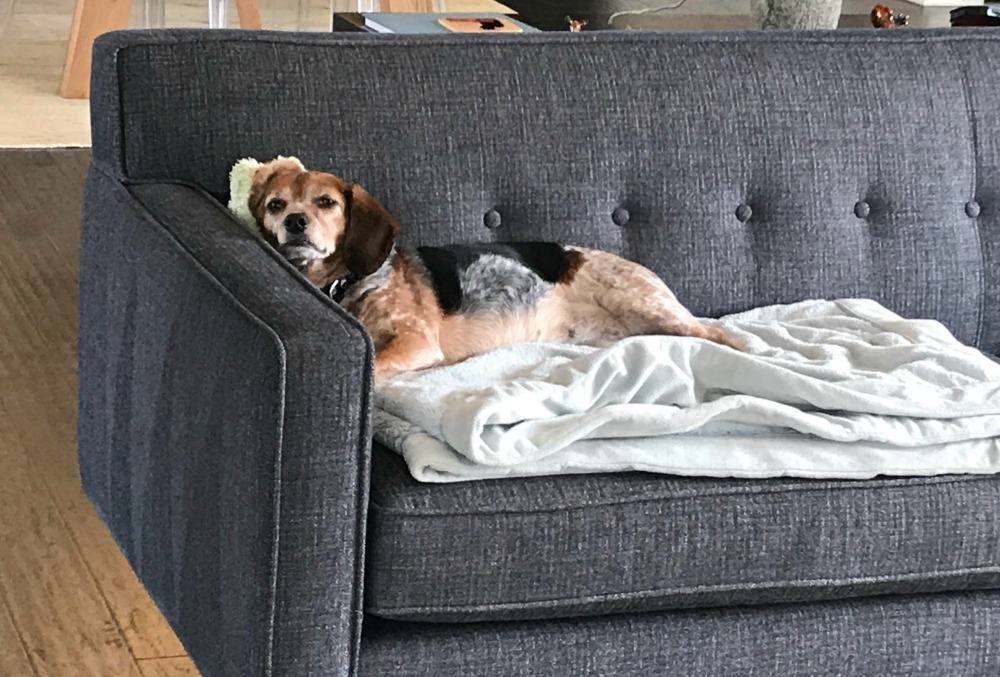 Beagle calmly laying on the couch