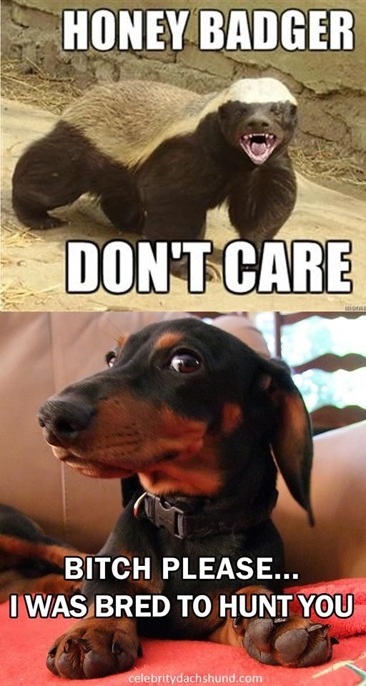 Dachshund meme: They are tough like Honey Badgers