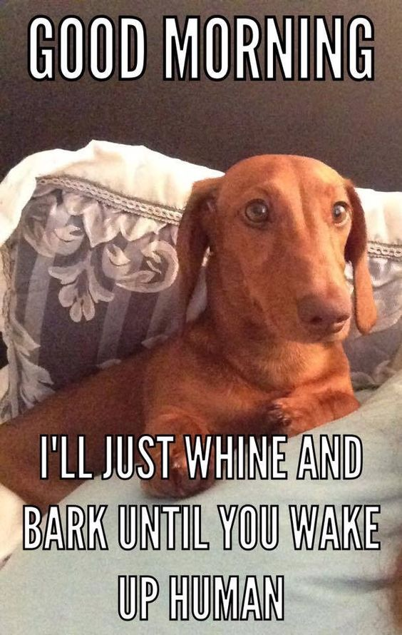 Meme of a dachshund waking you up in the morning