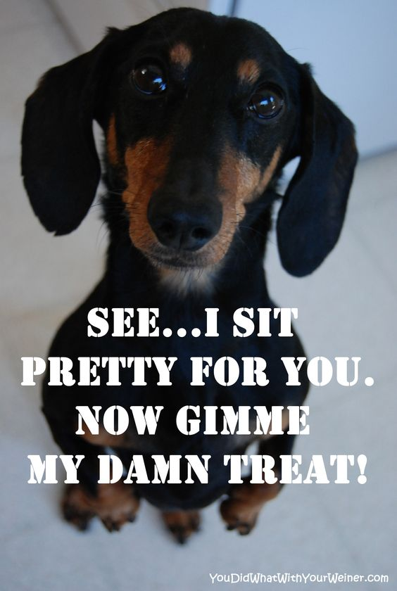 Dachshund sitting pretty for a treat meme