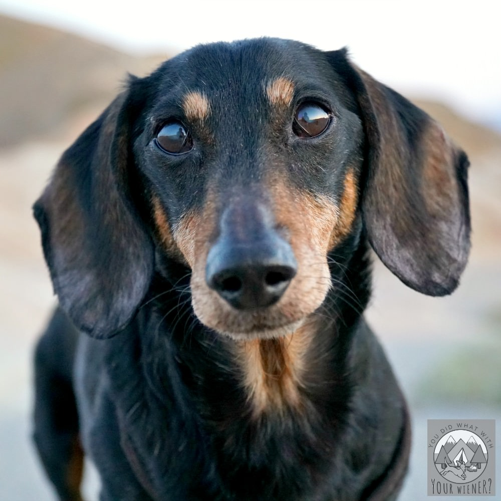 Handsome Dachshund - Chester from YouDidWhatWithYourWiener.com