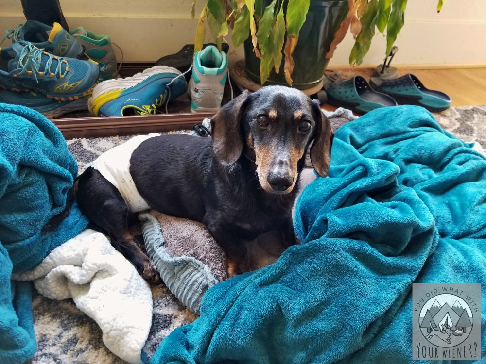 Senior Dachshund Chester Lounging In Bed