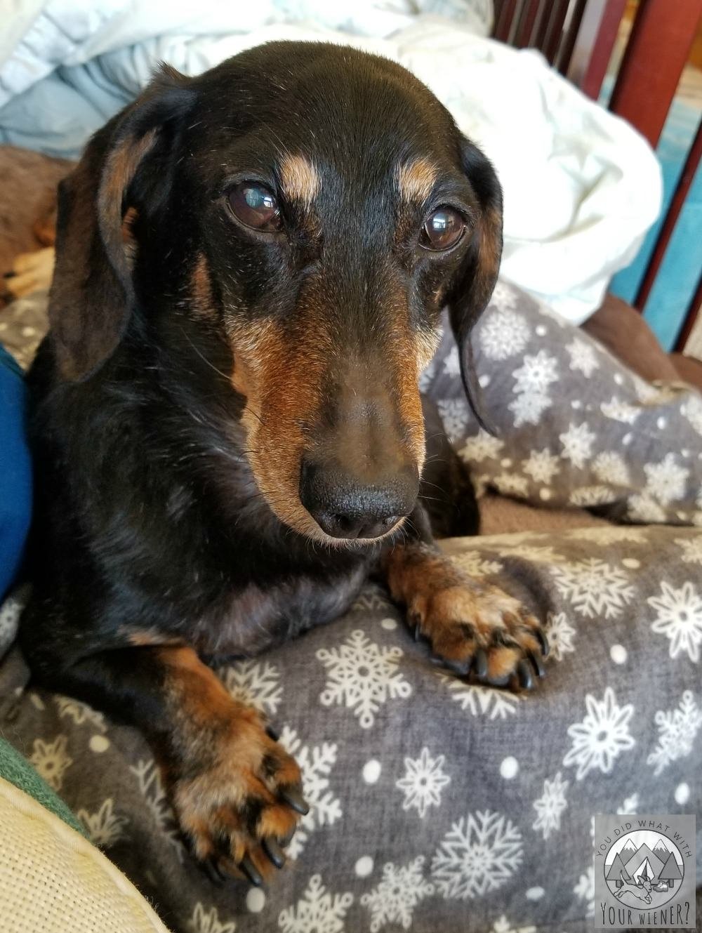Chester my Dachshund laying on my lap trying to make me feel better