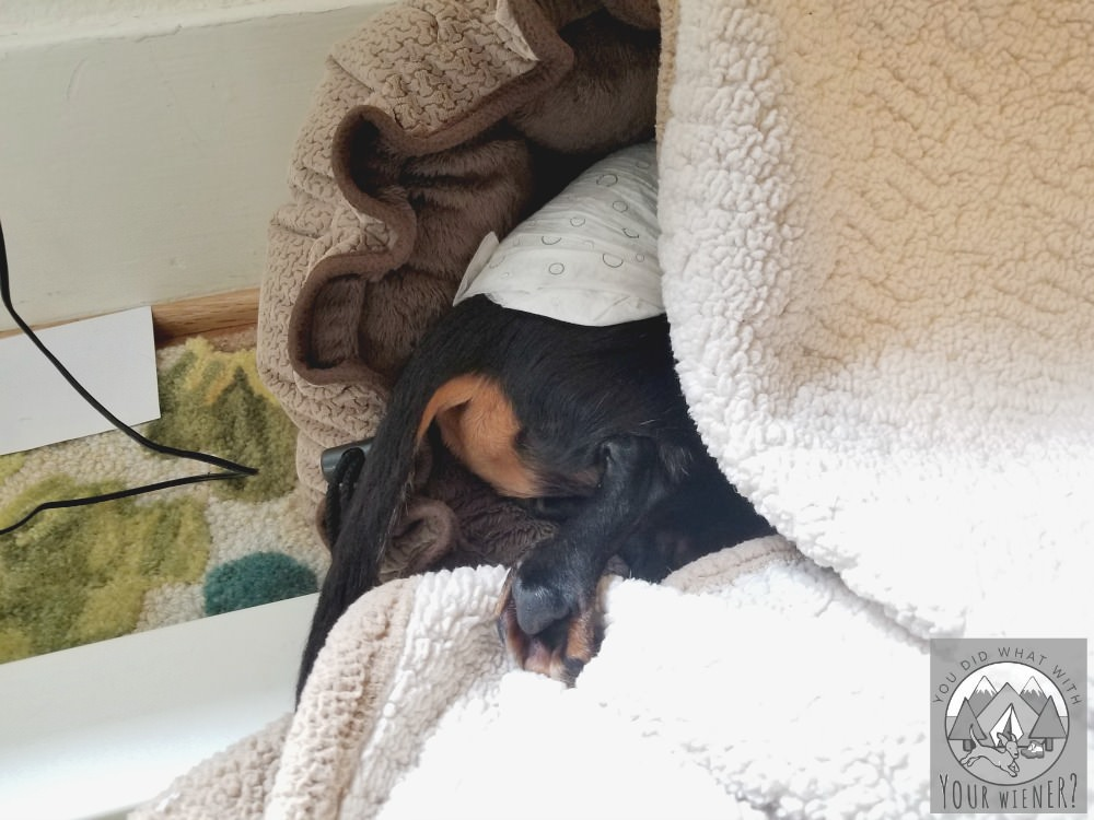 Dachshund in his bed