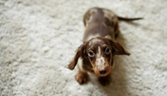 10 Things You Probably Don't Know About Dachshunds