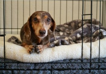 How to Choose a Small Dog Crate for Your Dachshund