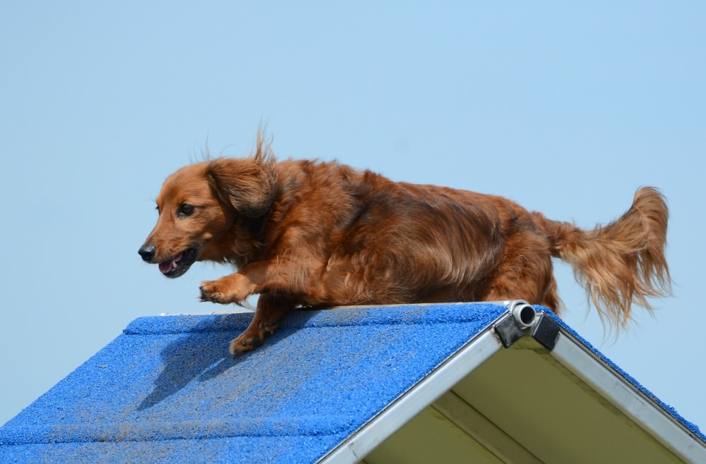 Dachshunds can be great athletes at agility