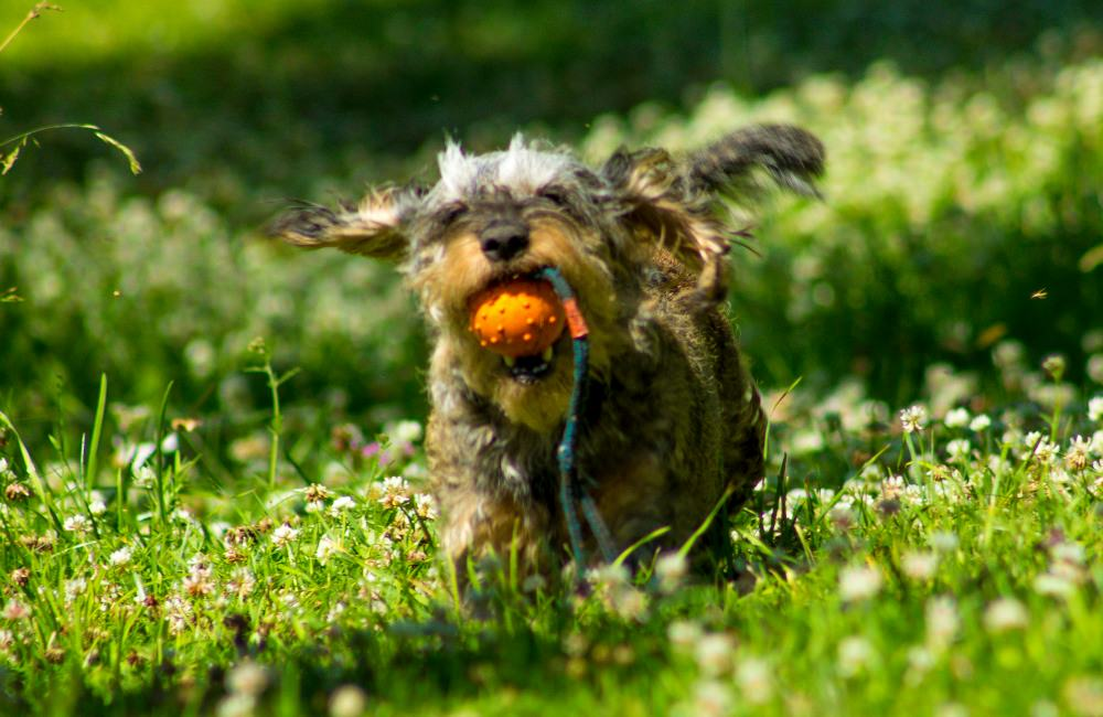 Dachshunds are bred to be athletic but how much exercise do they need?