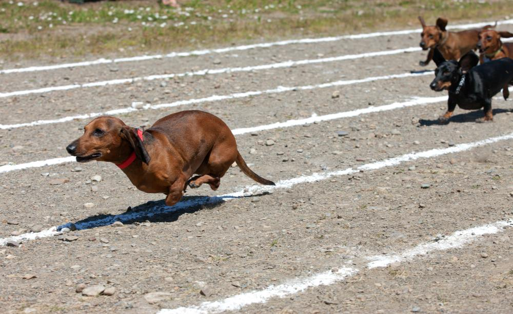 Dachshunds are natural athletes and can run fast