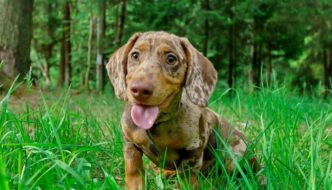 How Much Exercise Does a Miniature Dachshund Need?