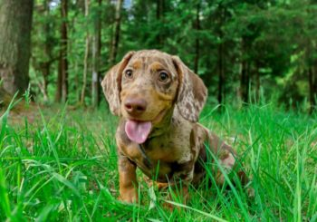 How Much Exercise Does Your Dachshund Need?
