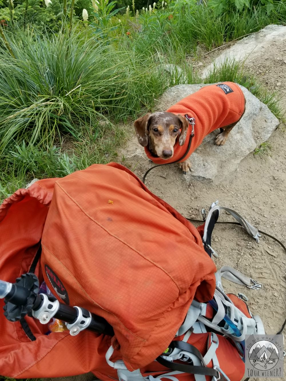 Dachshunds make great adventure and hiking companions