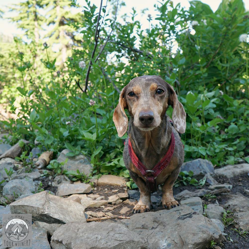 Dachshund hiking in an area with no ticks