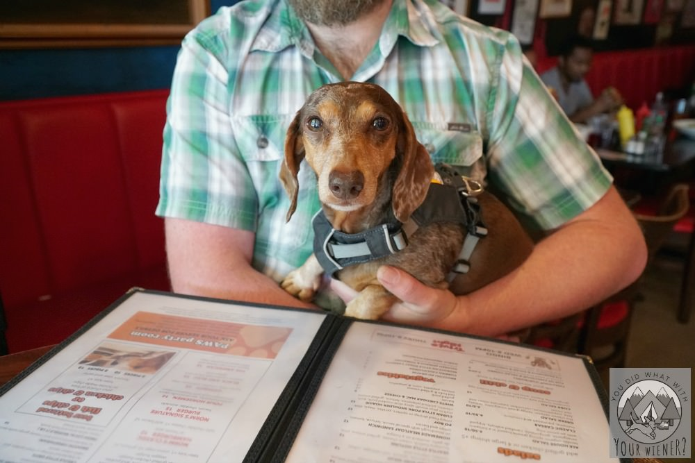 Dachshund Eating at Norm's Dog Friendly Restaurant in Seattle