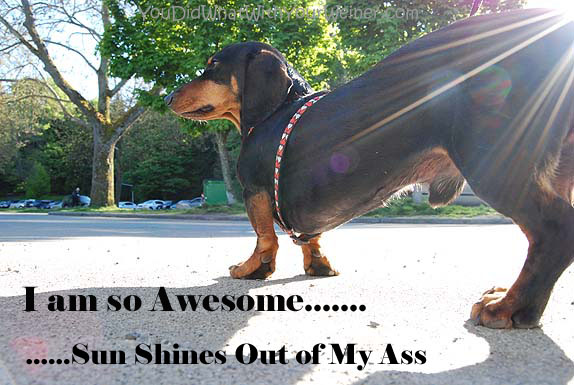 Dachshunds have a big attitude and think pretty highly of themselves