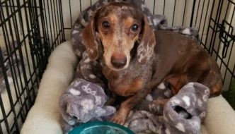 How to crate train your adult dachshund or new puppy
