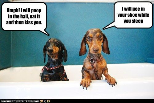 Dachshunds plotting against their owners for giving them a bath